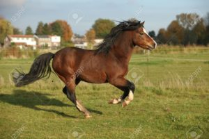 18825503-brown-welsh-mountain-pony-stallion-with-black-hair-galloping-in-autumn-stock-photo